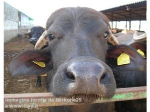 bufale due