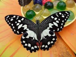 farfalle tre