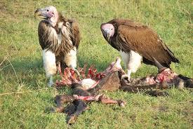 avvoltoio 5