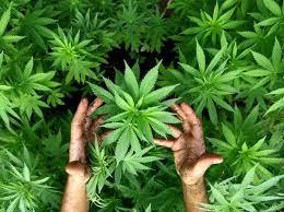 cannabis uno