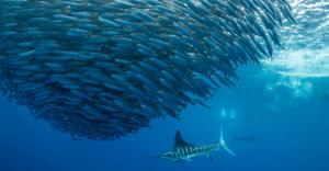 sardine bella