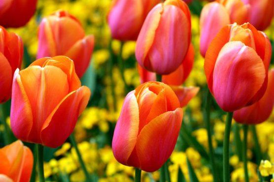 fiori due