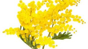mimosa quattro