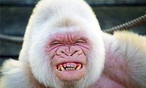 gorilla-bianco-300X180